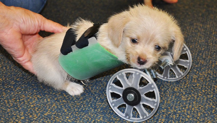 Tumbles, two-legged shelter puppy, two-legged puppy wheelchair, Ohio University Innovation Center, Friends of Shelter Dogs Athens Ohio, Tumbles the two-legged puppy, 3d-printed wheelchair for puppy, puppy that got a 3D-printed wheelchair