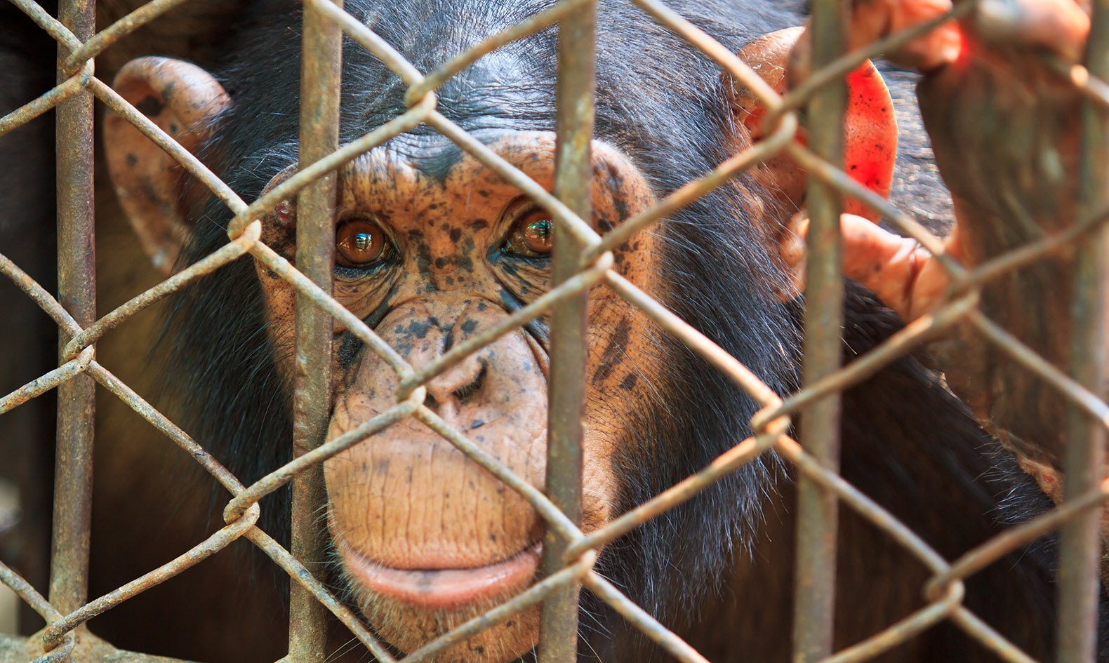 Chimpanzees in medical research