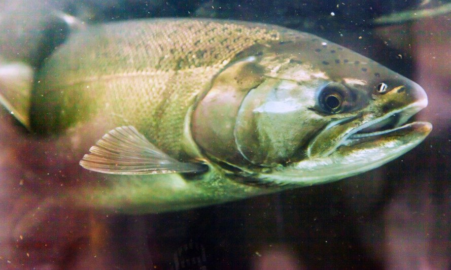 ge salmon, gmos, genetically engineered atlantic salmon, aquaculture, food and drug administration, AquAdvantage salmon, AquaBounty, FDA approval
