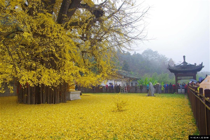 nature, beauty, China, gingko trees, living fossils, Buddhist temple, Buddhist monks, protected trees, famous trees, Chinese gingko tree, China golden tree