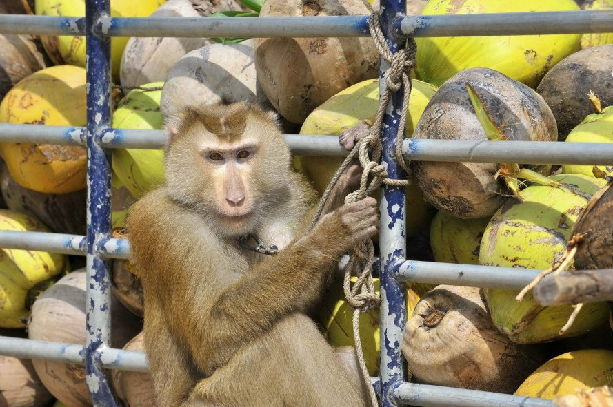 coconuts, coconut farms, coconut farmers, thailand, coconut products from thailand, monkeys picking coconuts, macaques pick coconuts, trained coconut picking monkeys, animal cruelty, animals in agriculture, thailand exports