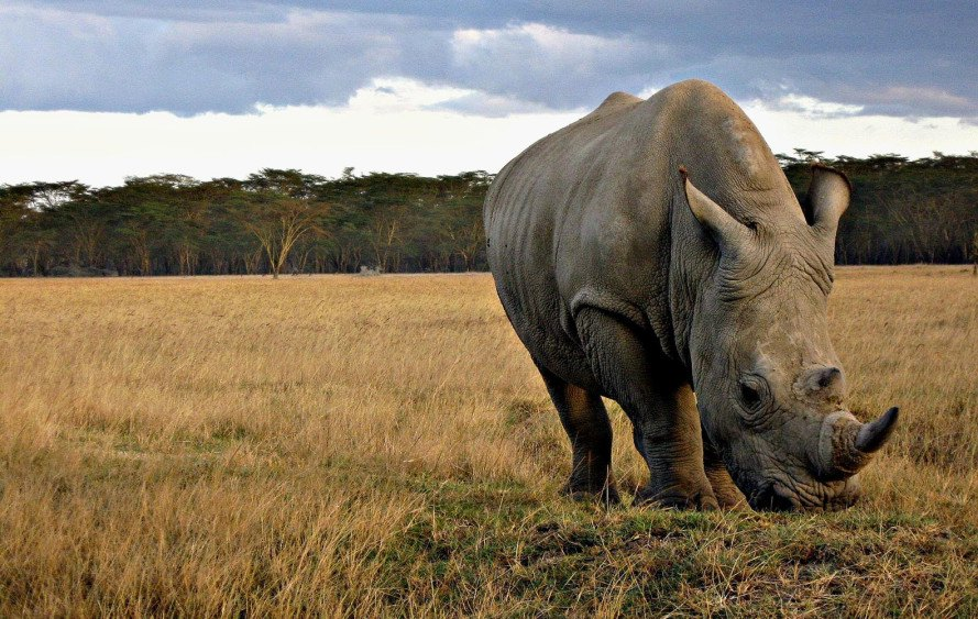 rhino horn, rhino poaching, endangered animals, endangered rhino, South Africa, rhino horn trade, rhino horn ban