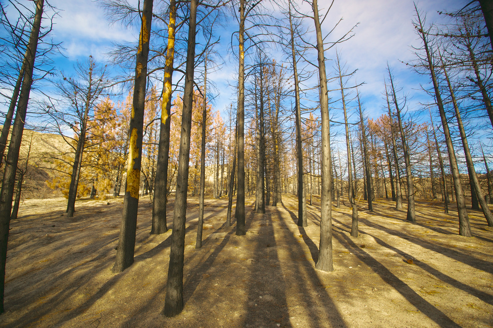 Nearly 1 billion California trees have suffered severe canopy water loss in just a few years & Nearly 1 billion California trees have suffered severe canopy ...