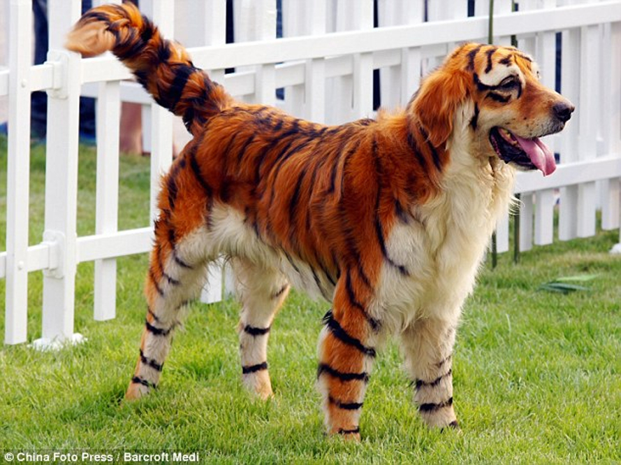Chinese street vendors paint puppies with toxic tiger stripes to