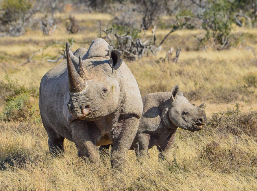 rhino poaching, rhinoceros poaching, wildlife poaching, south africa, african rhino, south africa poaching, us funds anti-poaching, endangered wildlife trust