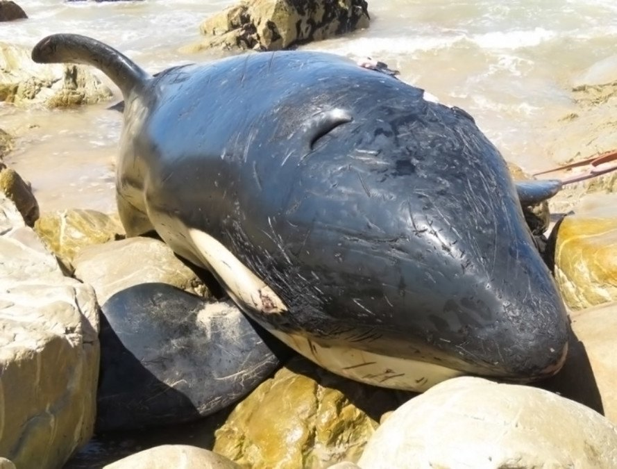 beached orca, killer whale, ocean trash, plastic pollution, marine life, whales, plastic in oceans, south africa