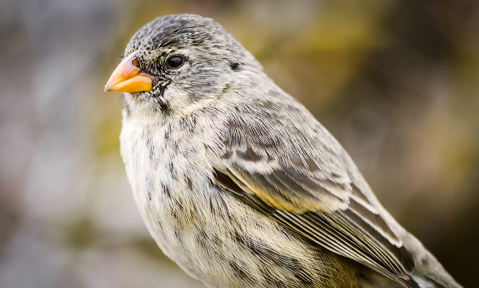 Galapagos Islands Finch New Species