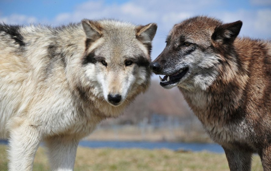 wolves, wolf hunting, norway, wolf hunting permits, conservation, scandinavian wolf, endangered species, endangered species protection, large predators, livestock, farming