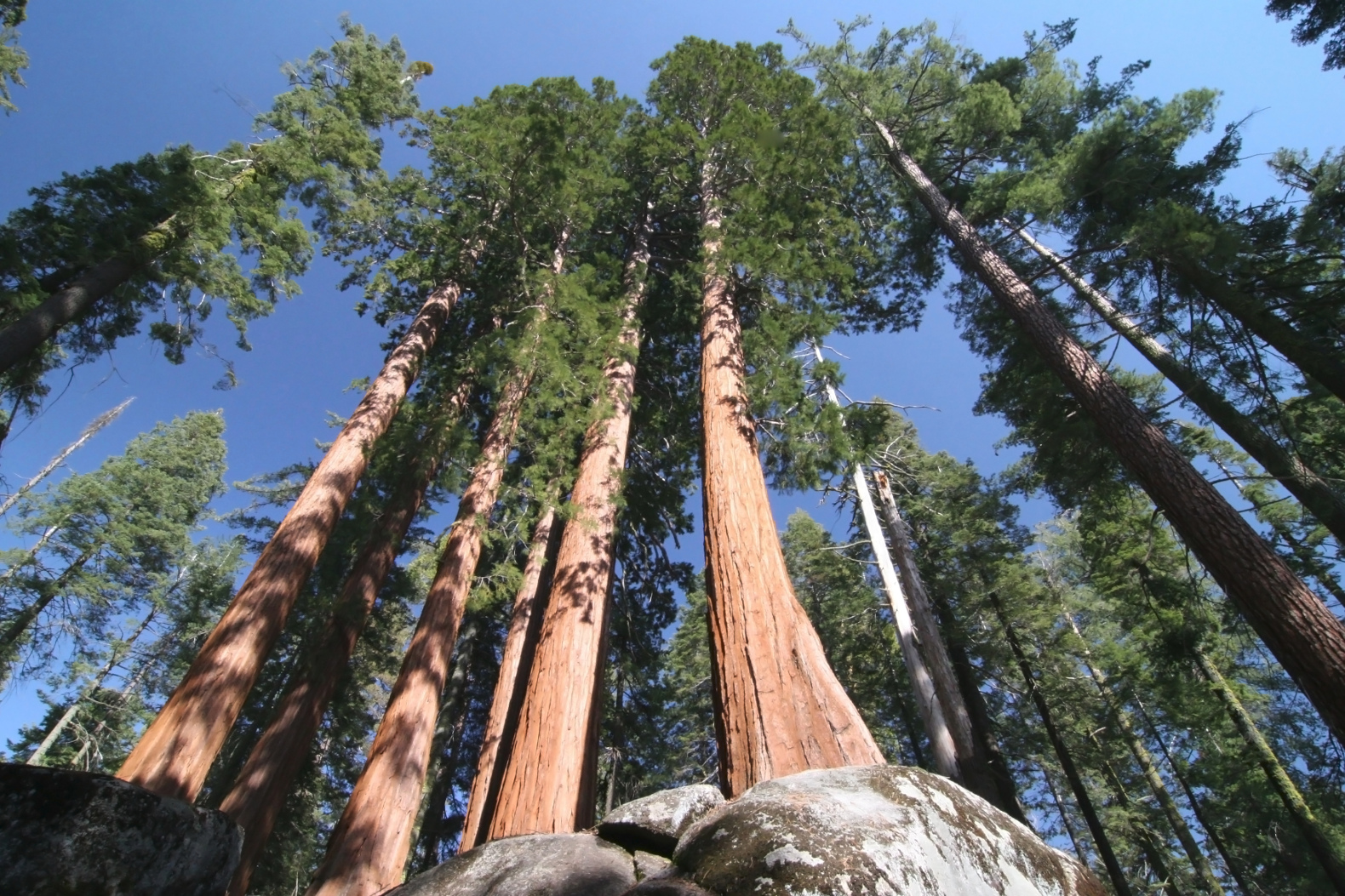 The tallest tree in the world is the giant Hyperion