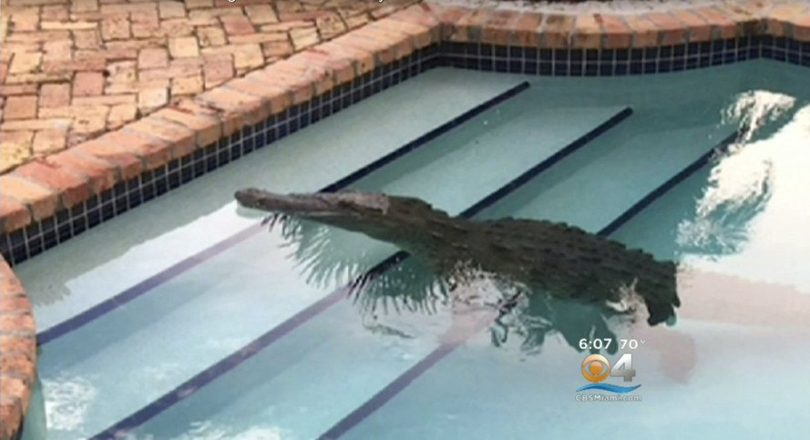 8 Foot Crocodile Found Casually Floating In A Florida Pool