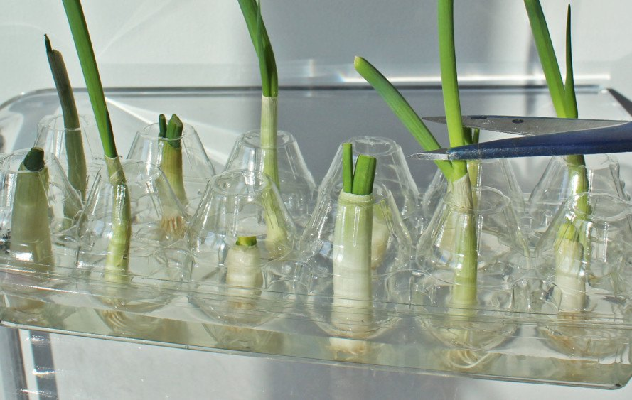 how to regrow scallions, regrow scallions, regrow green onions, can you regrow green onions, reduce food waste, food waste, grow scallions from scraps, urban gardening, scallion farm, scallion garden, yuka yoneda diy