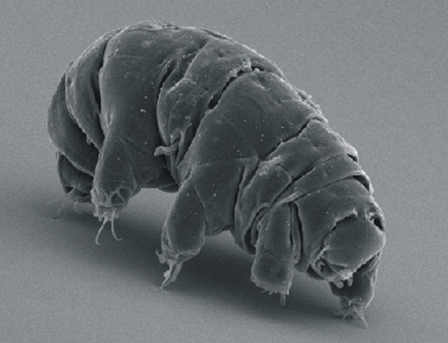 water bears, tardigrade, cryptobiosis, frozen, revival, national institute of polar research, water bear research