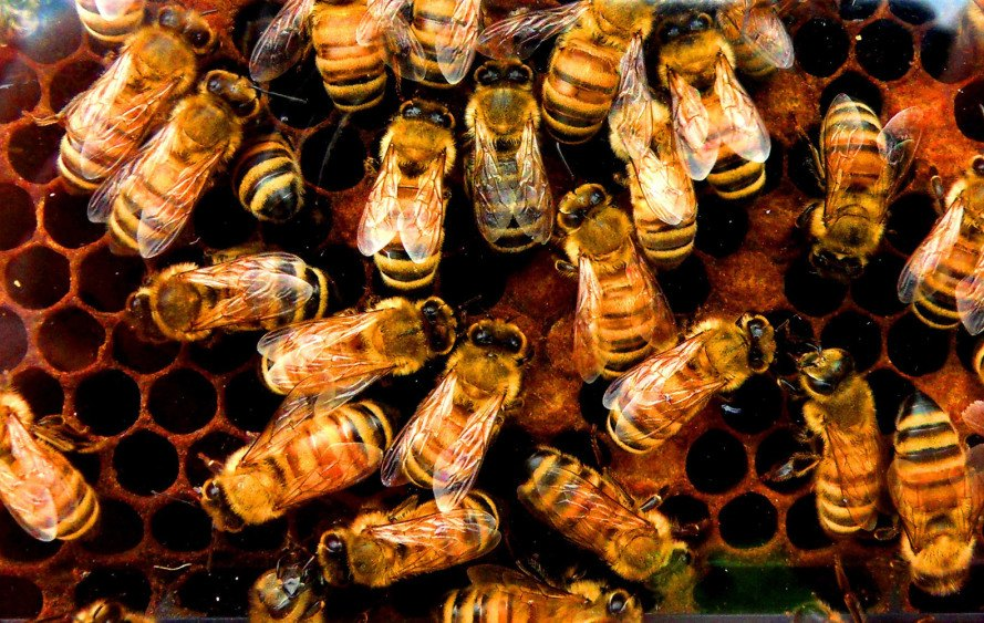 environmental protection agency, epa, bees, colony collapse disorder, neonicotinoids, pesticides, imidacloprid