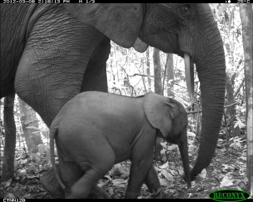wildlife photography,Tropical Ecology Assessment and Monitoring Network, camera trap wildlife, tropical forest wildlife,