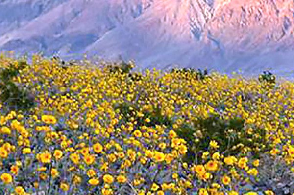Death Valley, El Niño, super bloom, yellow flowers, mountains