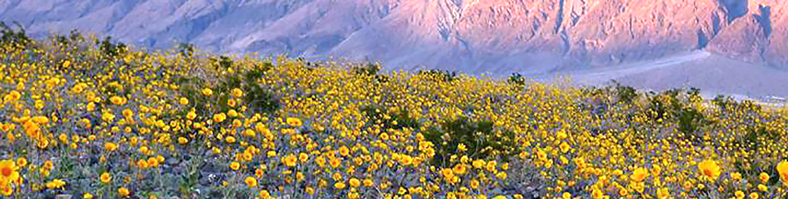 Death valley springs to life with millions of flowers in rare super death valley springs to life with millions of flowers in rare super bloom inhabitat green design innovation architecture green building mightylinksfo