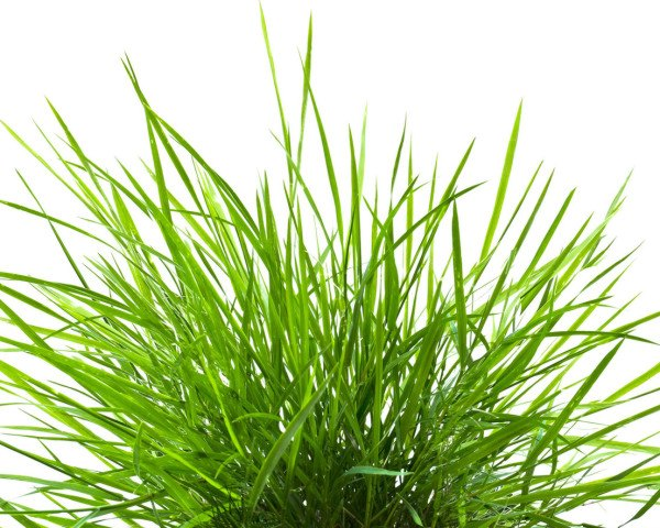 grass, blades of grass, image of grass, grass isolated on white background