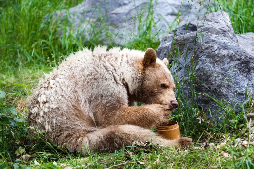 rainforests, great bear rainforest, british columbia, canada, first nations, indigenous people, logging, spirit bears, black bears, temperate rainforests
