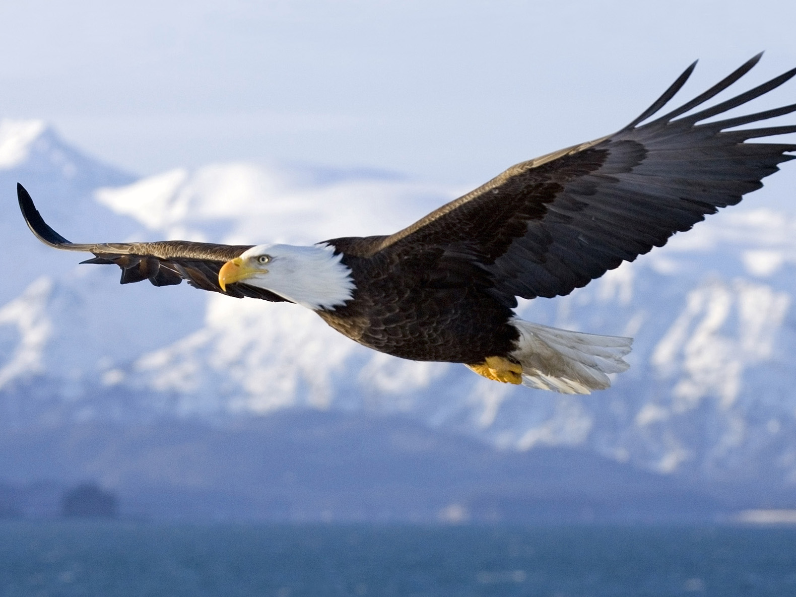 A bald eagle serial killer at large in Maryland after 13 birds found ...