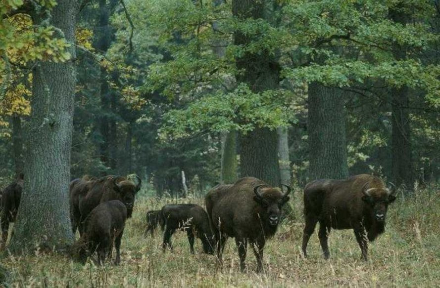 poland, belarus, Bialowieza Forest, Bialowieza Puszcza, logging, greenpeace, national parks, unesco world heritage site, unesco world heritage sites, protected land, natural forests, protected forests
