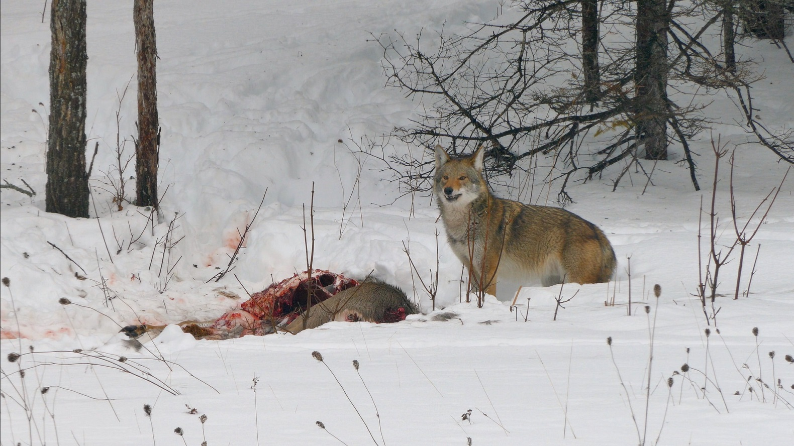 American Coywolf is a fascinating hybrid species with supercharged adaptation