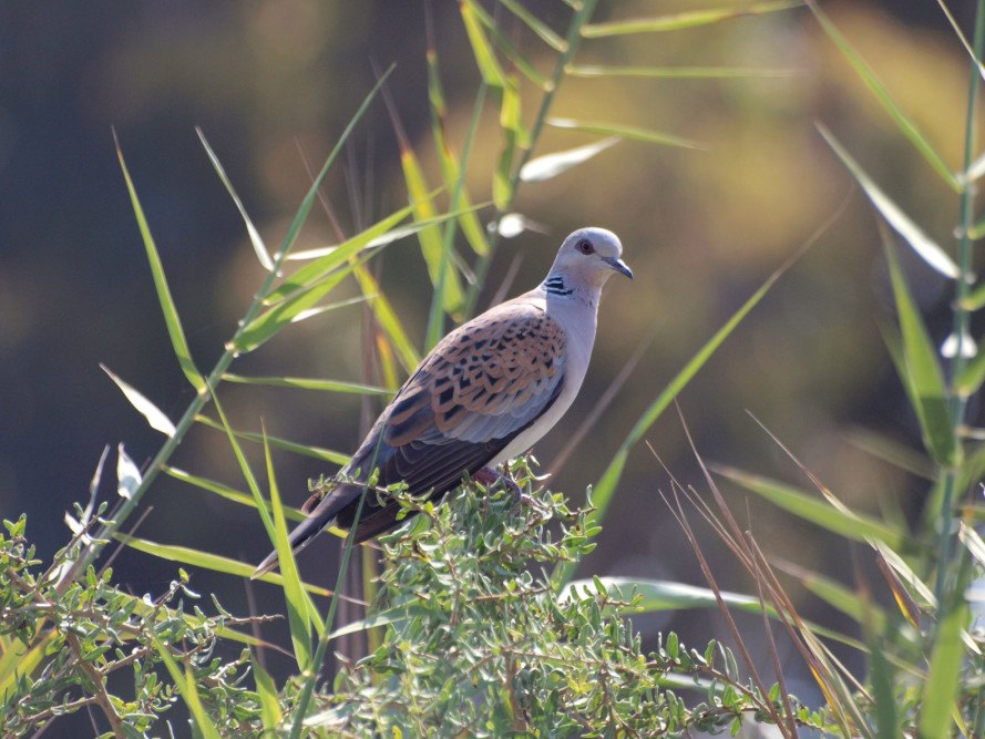 malta, european turtle dove, spring hunting, malta hunting, malta turtle dove, recreational hunting, migratory birds, european union, endangered birds, endangered species, conservation