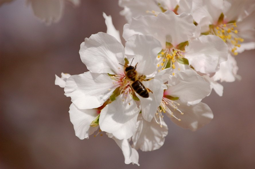honeybees, almonds, almond tree, independence almond tree, self-fertile, self-fertile crops, crop harvest, bees