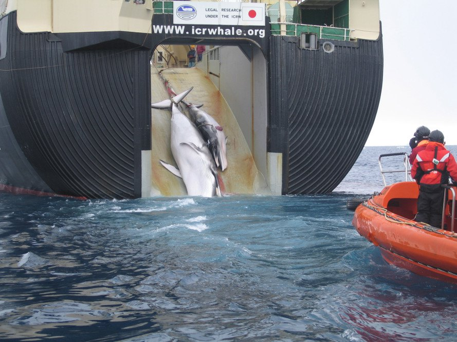 Japan, Japanese whaling, whaling, international law, Antarctic minke whales, whales, whale, pregnant whales, illegal whaling