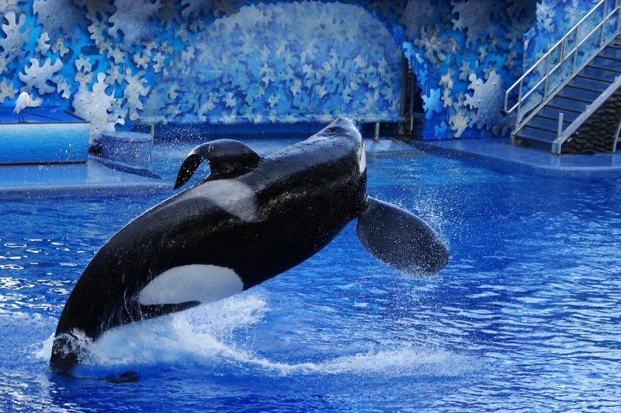 SeaWorld, orcas, orca whales, killer whales, whales in captivity, Shamu