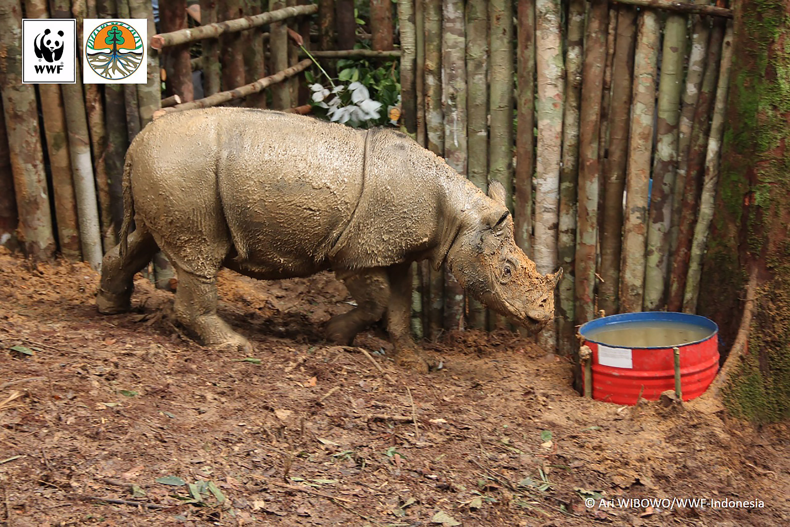Endangered animals inhabitat green design innovation conservationists spot sumatran rhino in indonesian borneo for the first time in decades sciox Images