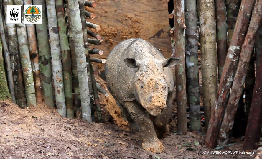 Sumatran rhino, rhino, endangered species, endangered animal, critically endangered, conservation, Indonesian Borneo, World Wildlife Fund