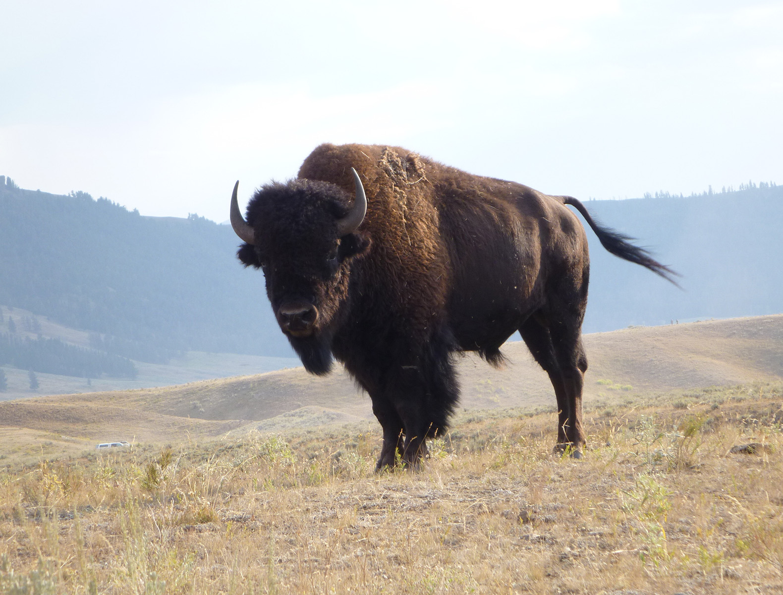 buffalo the great animal of the The life expectancy of american bison is 15 to 20 years bison roamed the great plains in vast numbers buffalo are old world animals.