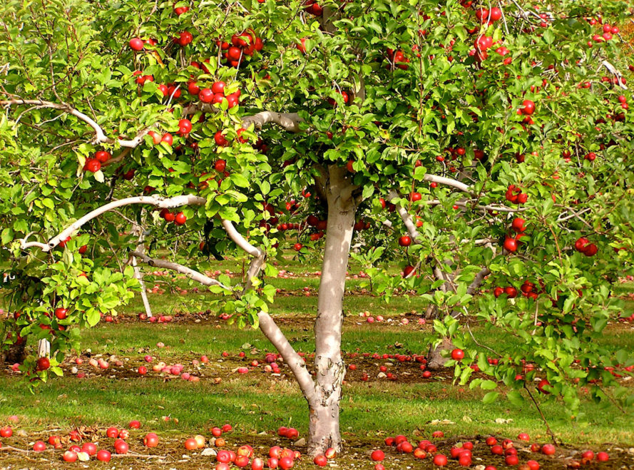 apple tree, grow your own apple tree, how to grow an apple tree, beginner gardening, edible garden, food garden, mini farm, indoor edible garden, backyard farm, backyard food garden, how to grow your own food, beginner farming