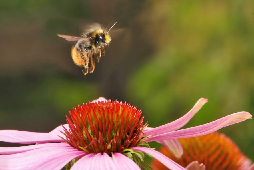 Bee on a flower, honeybee, pollinator, pollinators, bumblebees