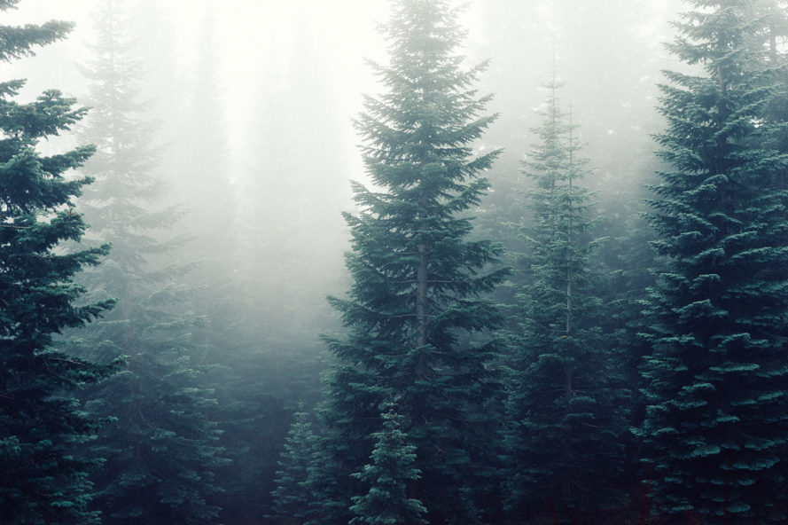 Trees, forest, carbon dioxide, photosynthesis, fungi, trees connected, interconnected trees