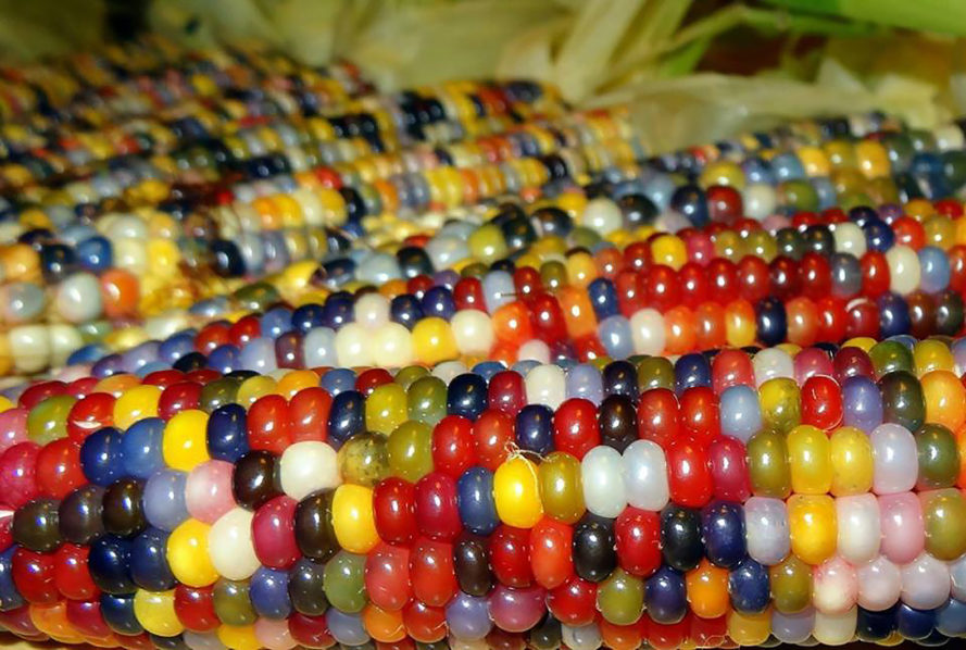 Glass gem corn, rainbow corn, colorful corn, Carl Barnes, Native Seeds/SEARCH, corn, native seeds, native plants, heirloom plants, Native Americans