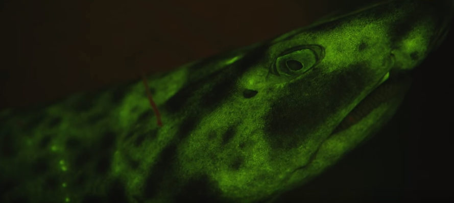 Biofluorescence, biofluorescent sharks, biofluorescent marine creatures, ocean, sea, sharks, glowing sharks, science, marine biology