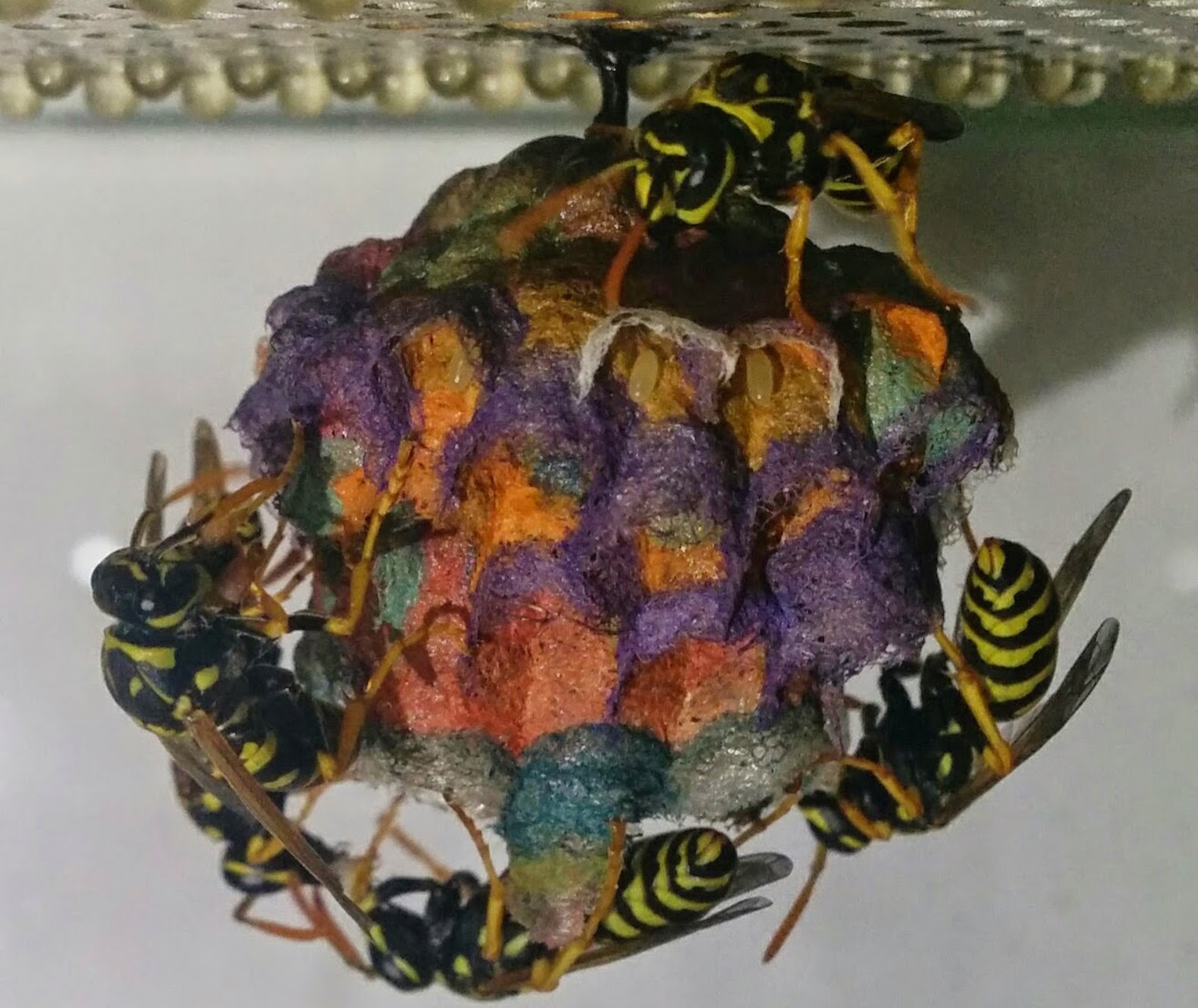 Wasps build rainbow nests with colored construction paper
