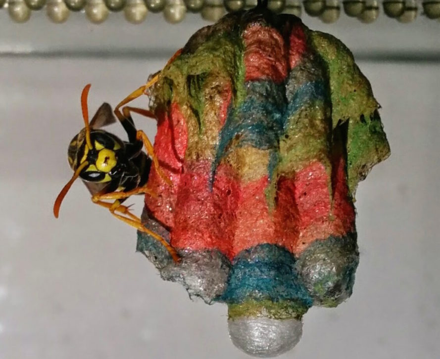 Rainbow wasp nest by Mattia Menchetti, European paper wasp colorful nest, rainbow wasp nest, paper wasps and colorful construction paper