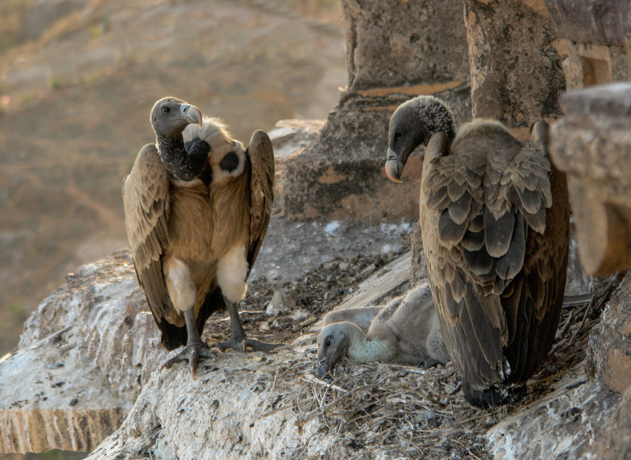 3D printing, 3D print, conservation, endangered species, technology, vultures, vulture, nest