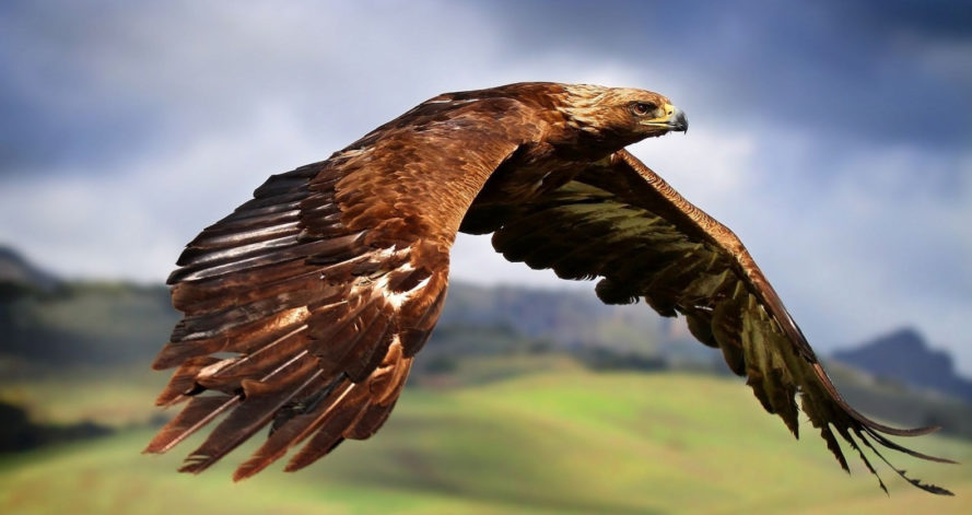eagles, golden eagles, golden eagle, england, united kingdom, royal society for the protection of birds, rspb, wildlife, last golden eagle in england