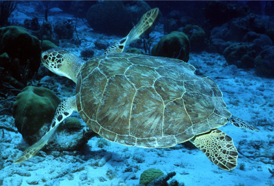 sea turtles, green sea turtles, endangered species, endangered animals, florida, mexico, fws, us fish and wildlife, noaa fisheries, noaa
