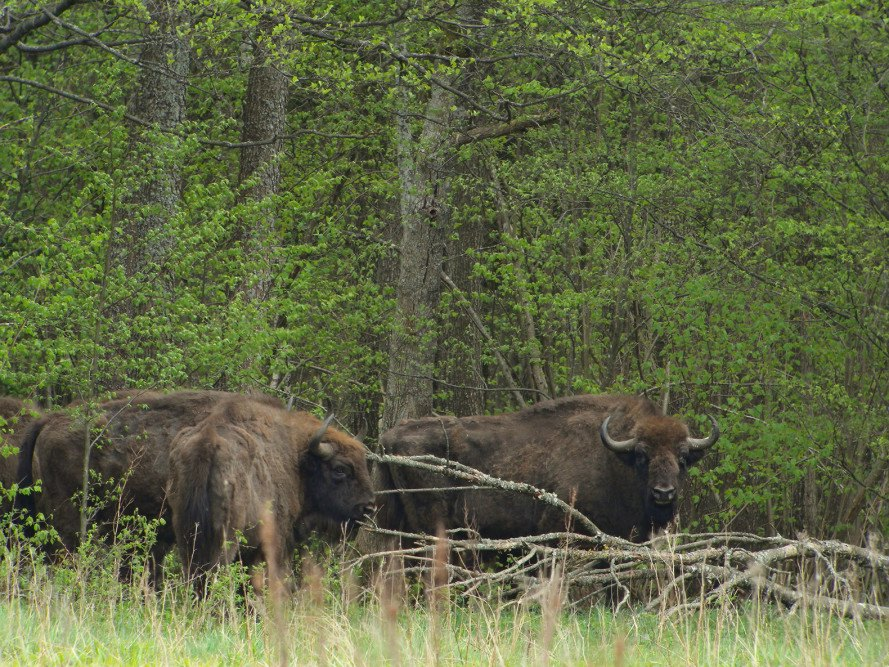 Bialowieza, Bialowieza Forest, Poland, forest, logging, trees, World Heritage site, Greenpeace Poland, WWF Poland, European bison, Europe largest mammal