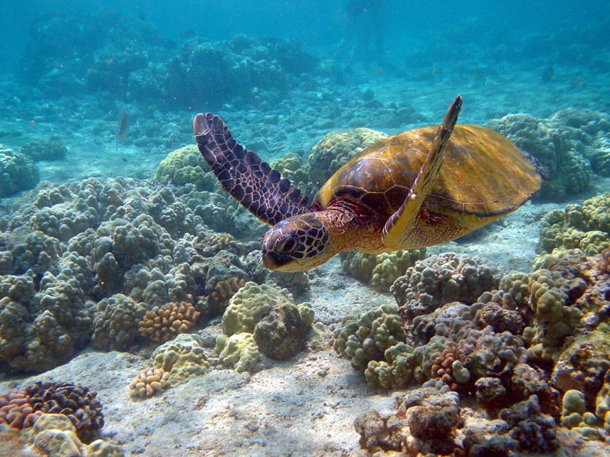 Malaysia, Borneo, Tun Mustapha Park, marine park, marine animals, coral reef, shark sanctuary, endangered green turtles, fish, ocean