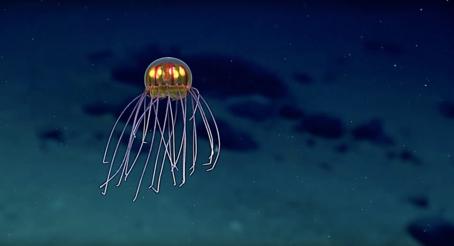 jellyfish, noaa, national oceanic and atmospheric administration, okeanos explorer, deep discoverer, mariana trench, enigma seamount, crossota, bioluminescent, deep sea creature, deep sea, marine life, new species, jellyfish species