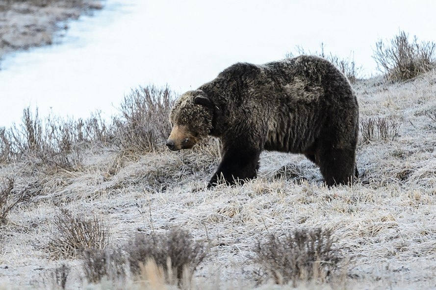 Yellowstone, Scarface, grizzly bear, bear, Endangered Species Act, Montana, animals
