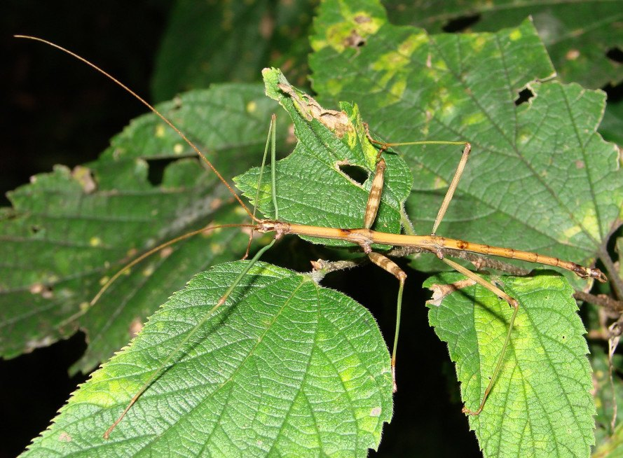 stick insect, longest insect, china insect, Phryganistria chinensis Zhao, Phryganistria, insects, bugs, world record, zhao li