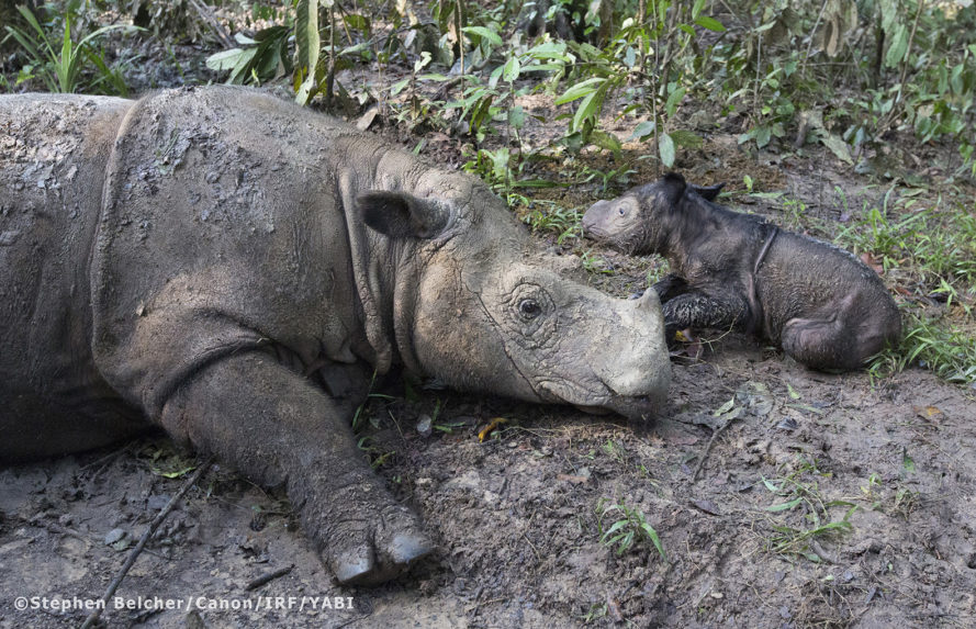 Sumatran rhino, rhino, critically endangered, critically endangered species, conservation, wildlife, Sumatran Rhino Sanctuary, International Rhino Foundation, Ratu