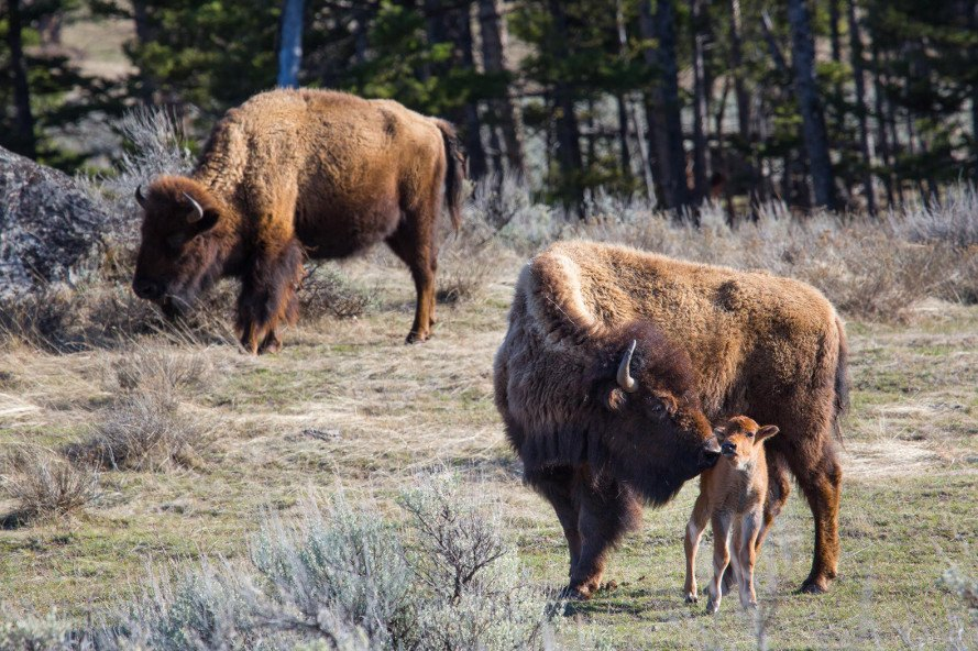Yellowstone, National Parks Service, Yellowstone National Park, bison, baby bison, animal, baby animal, wildlife, parks, tourists