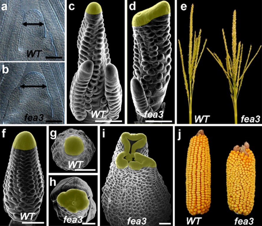 corn, food security, staple crops, hybrid corn, plant breeding, genetic mutations, FEA3, Cold Spring Harbor Laboratory, biology, crop yields, agriculture